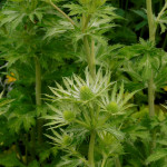 Eryngium Neptune's Gold on Hardy's Cottage Garden Plants stand at Chelsea 2014