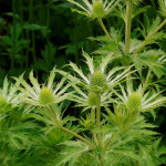 Eryngium Neptune's Gold on Hardy's Cottage Garden Plants garden at Chelsea 2014
