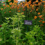 Eryngium Neptune's Gold with Geum Totally Tangerine on Hardy's Cottage Garden Plants garden at Chelsea 2014