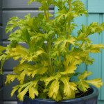 Garden pot of Eryngium Neptune's Gold